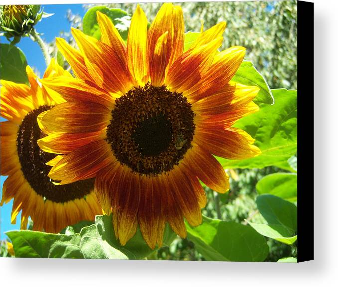 Sun Canvas Print featuring the photograph Sunflower 140 by Ken Day