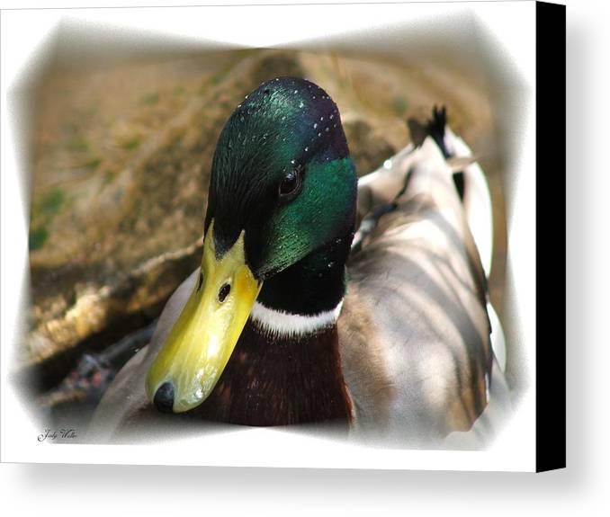 Duck Canvas Print featuring the photograph The Mallard by Judy Waller