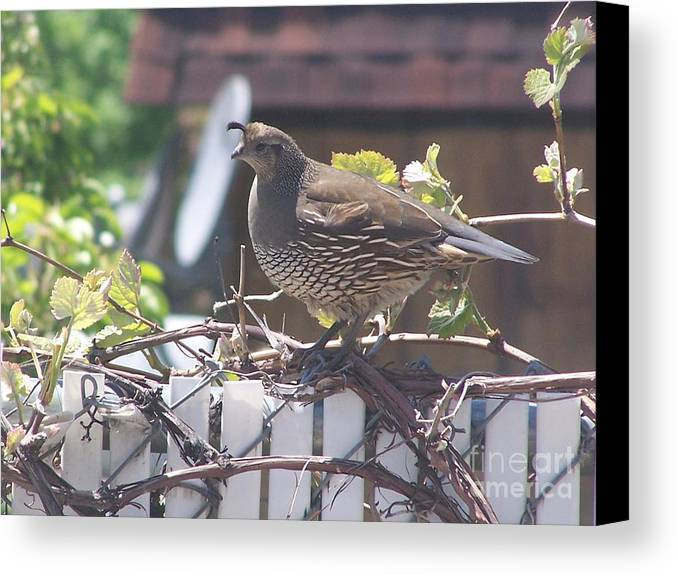 Quail Canvas Print featuring the photograph The Mrs. by Karli Martin