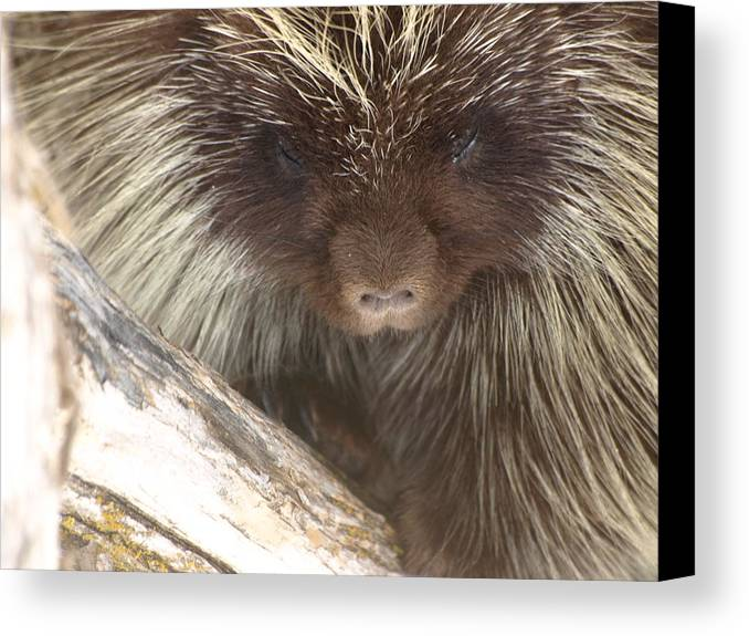 Porcupine Canvas Print featuring the photograph The Tender Side Of Porcupine by DeeLon Merritt