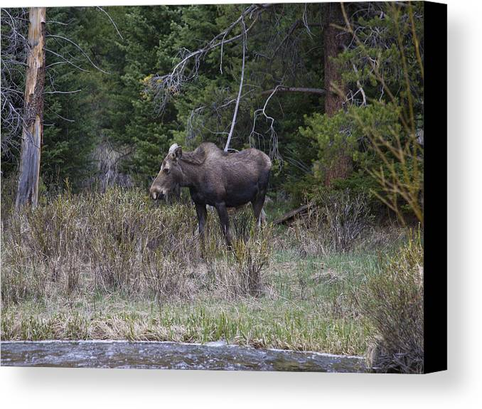 Moose Canvas Print featuring the photograph Thirsty Cow Moose by Theo Bauder