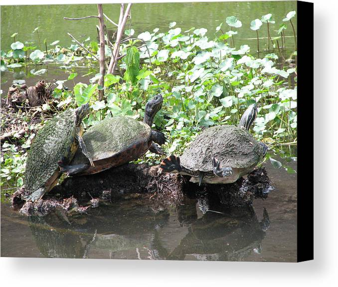Turtle Canvas Print featuring the photograph Three Amigos by Stacey May