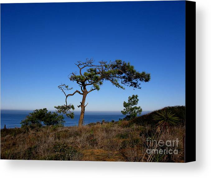 Torrey Pines Canvas Print featuring the photograph Torrey Pines Tree by PJ Cloud