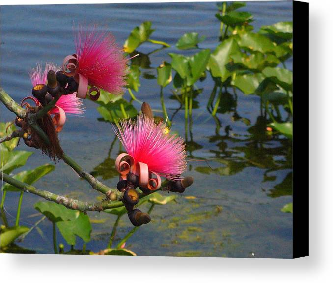 Pink Canvas Print featuring the photograph Tree Blossoms by Peggy King
