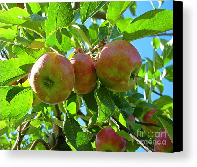 Trio Of Apples Canvas Print featuring the photograph Trio Of Apples by Crystal Loppie