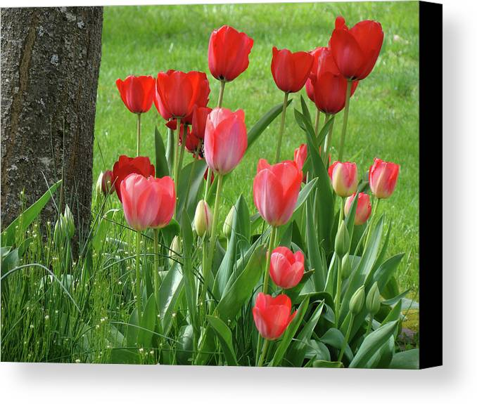 �tulips Artwork� Canvas Print featuring the photograph Tulips Flowers Art Prints Spring Tulip Flower Artwork Nature Art by Baslee Troutman