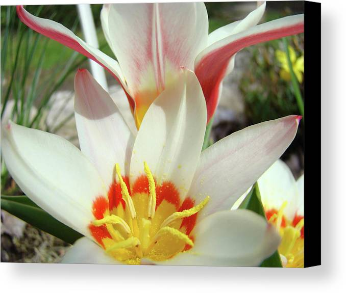 �tulips Artwork� Canvas Print featuring the photograph Tulips Flowers Artwork 1 Tulip Flower Art Prints Spring Floral Art White Tulips Garden by Baslee Troutman