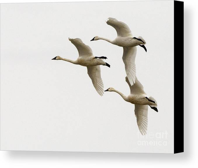 Swan Canvas Print featuring the photograph Tundra Swans In Flight 1 by Bob Christopher