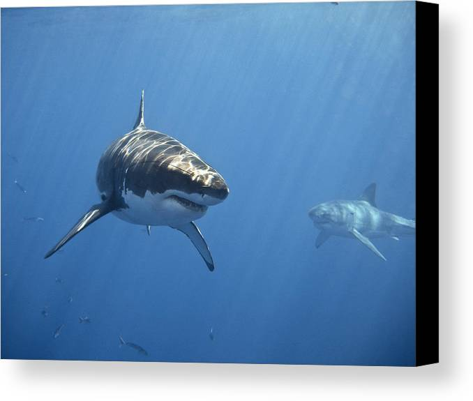 Horizontal Canvas Print featuring the photograph Two Great White Sharks by Photo by George T Probst