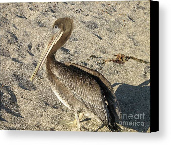 Pelican Canvas Print featuring the photograph Up Close With A Pelican On A Sand Beach by DejaVu Designs