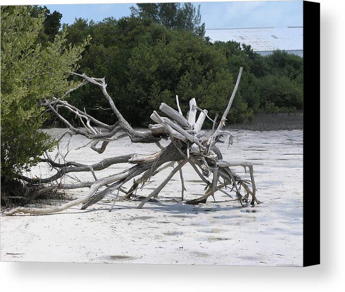 Driftwood.beach Canvas Print featuring the photograph Uprooted by Jim Derks