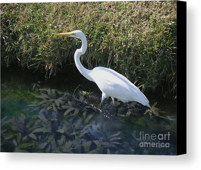 Nature Canvas Print featuring the photograph Wading For Dinner by Lucyna A M Green