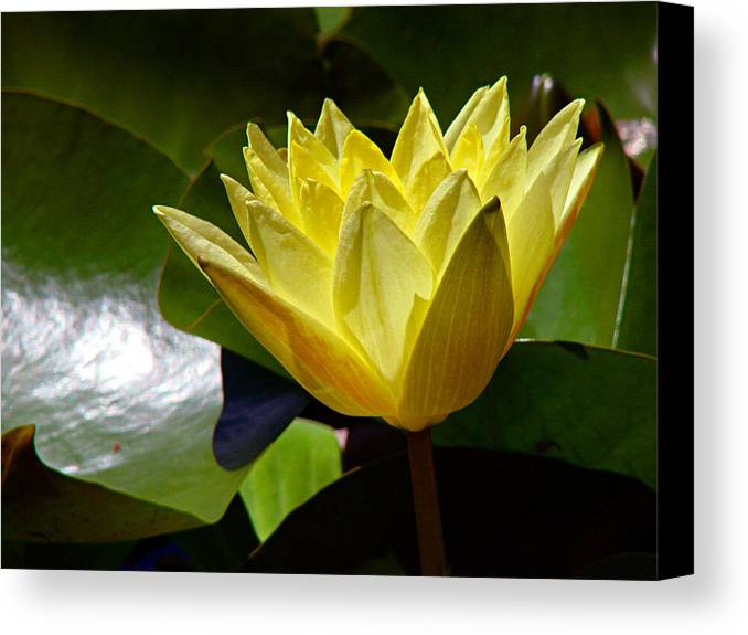 Water Lily Canvas Print featuring the photograph Water Lily Fc by Diana Douglass