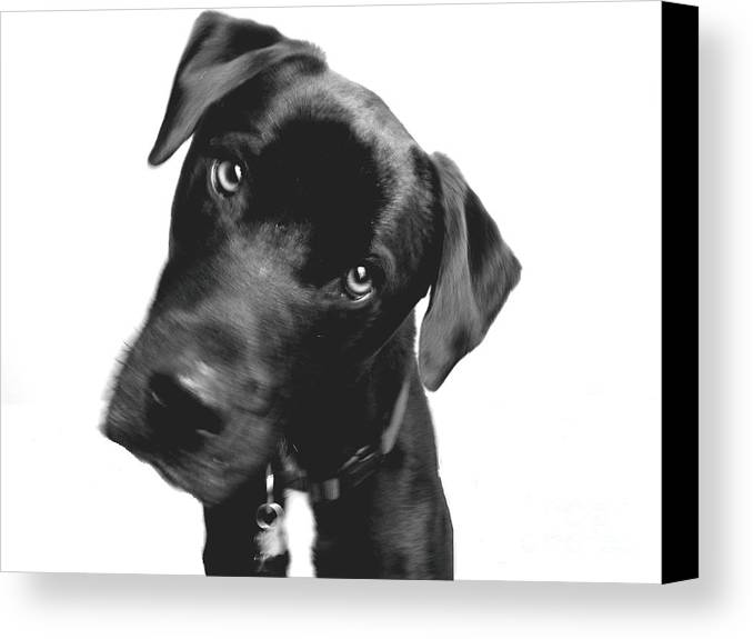 Labrador Canvas Print featuring the photograph What by Amanda Barcon