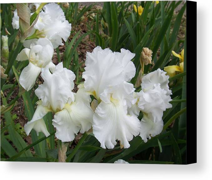 Flower Canvas Print featuring the photograph White Iris by Ellen B Pate