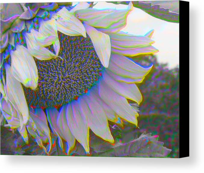Landscape Canvas Print featuring the photograph White Sunflower by Vicky Brago-Mitchell