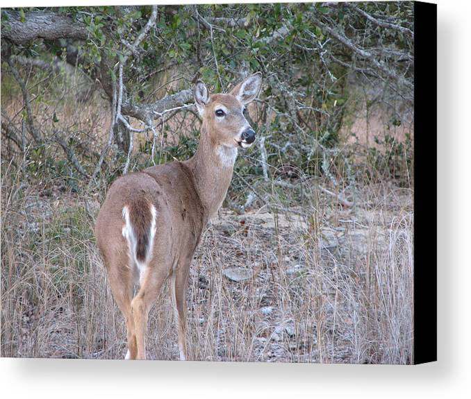Deer Canvas Print featuring the photograph Whitetail Deer II by Stacey May