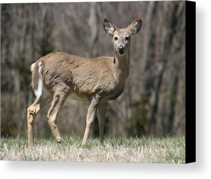 Animal Canvas Print featuring the photograph Whitetail Profile 1 by David Dunham