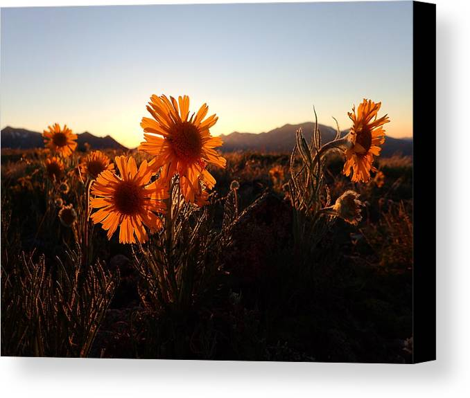 Buena Canvas Print featuring the photograph Wild Sunflowers Of Buena Vista by Lora Louise