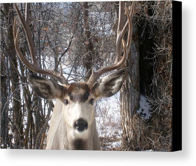 Wildlife Canvas Print featuring the painting Wyoming Buck by Waldtraut Voelkel
