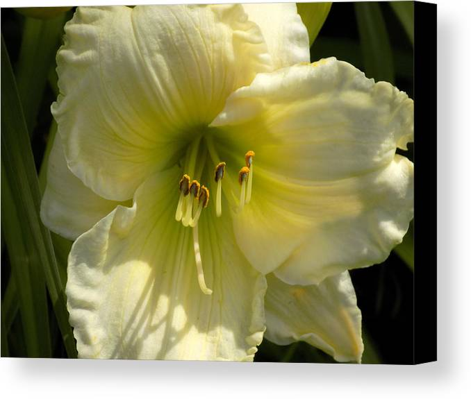 Daylily Canvas Print featuring the photograph Yellow And White Daylily by William Tasker