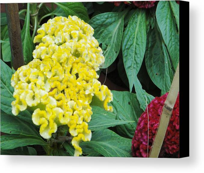 Canvas Print featuring the photograph Yellow Cockscomb by Usha Shantharam