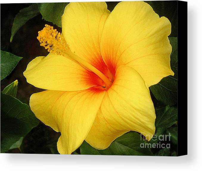 Nature Canvas Print featuring the photograph Yellow Hibiscus by Lucyna A M Green