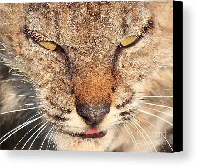 Animal Canvas Print featuring the photograph Young Bobcat Portrait 01 by Wingsdomain Art and Photography