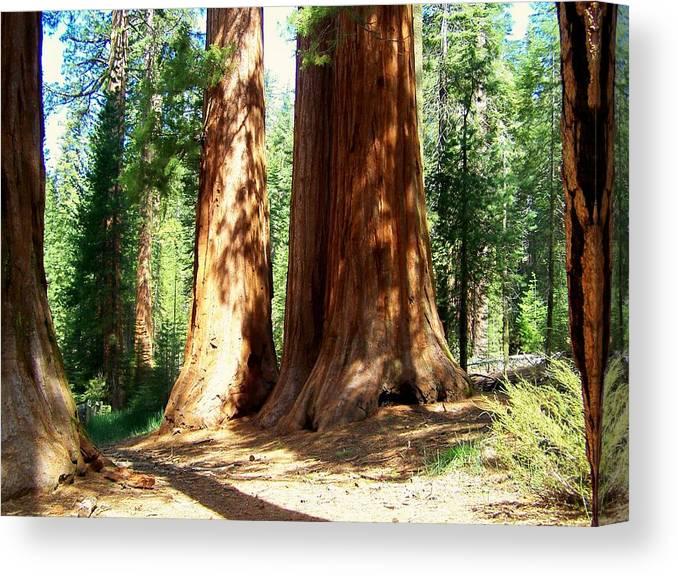 Landscapes Canvas Print featuring the photograph Giant Sequoias by Douglas Miller