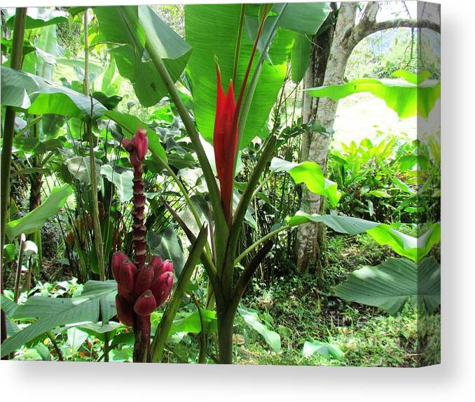 Panama Canvas Print featuring the photograph Barriles Banana by Ted Pollard