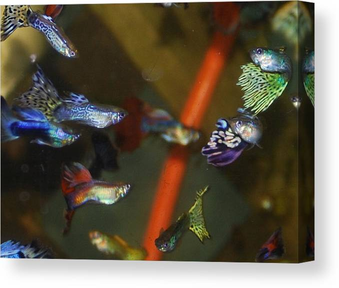 My Aquarium Canvas Print featuring the photograph Fancy Guppys by Robert Floyd