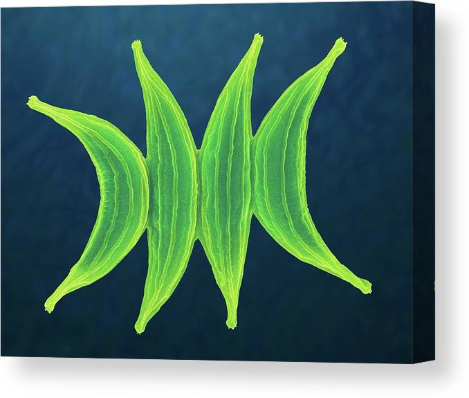251196f Canvas Print featuring the photograph Scenedesmus Spp. by Dennis Kunkel Microscopy/science Photo Library