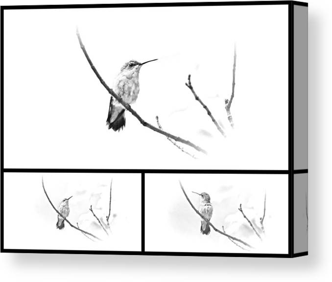 ruby-throated Hummingbird Canvas Print featuring the photograph Ruby-throated Hummingbird - Immature Female - Black And White - Archilochus Colubris by Mother Nature