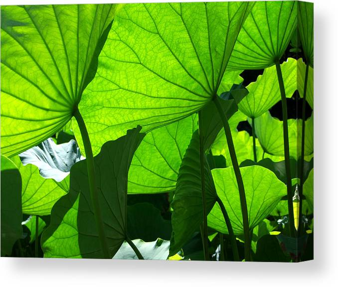 Lotus Canvas Print featuring the photograph A Canopy Of Lotus Leaves by Larry Knipfing