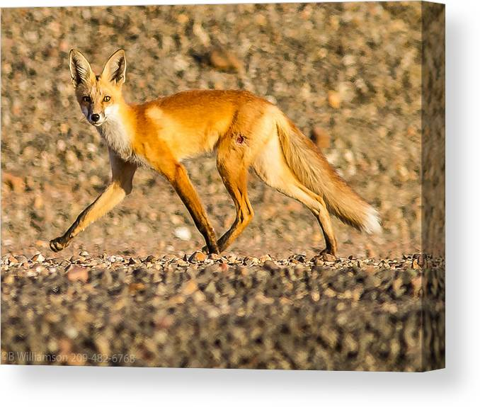 Red Fox Canvas Print featuring the photograph A Red Fox by Brian Williamson