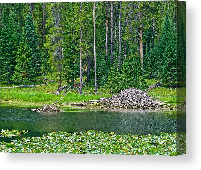 Beaver Dam In Heron Pondl In Grand Teton National Park Canvas Print featuring the photograph Beaver Dam In Heron Pond In Grand Teton National Park-wyoming by Ruth Hager