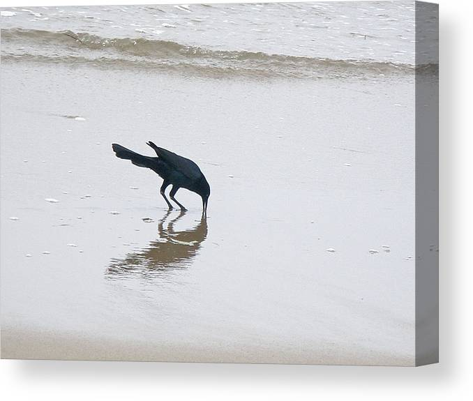 Grackle Canvas Print featuring the photograph Boat-tailed Grackle - Quiscalus Major - In Surf by Mother Nature