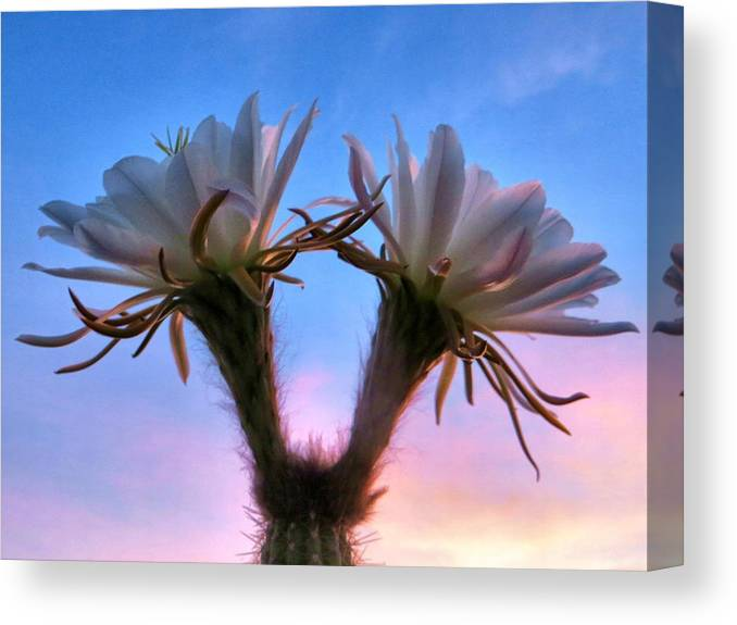 Cactus Canvas Print featuring the photograph Night Bloom by Jim Romo
