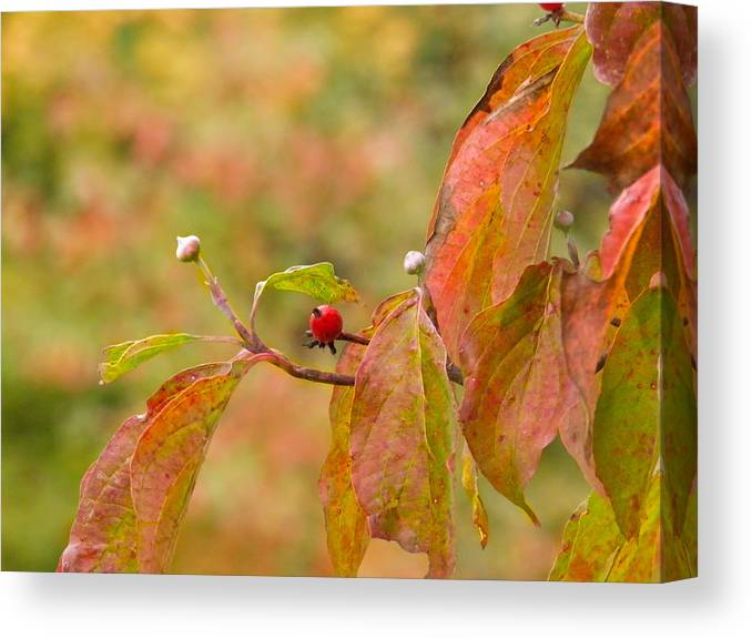 Berry Canvas Print featuring the photograph Dogwood Berrie by Nick Kirby