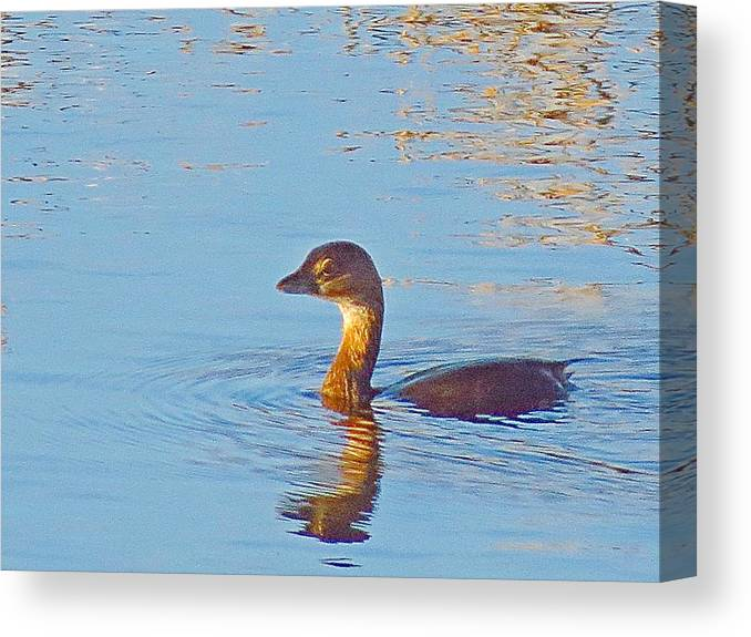 Duck Canvas Print featuring the photograph Duck 2133 by J D Whaley