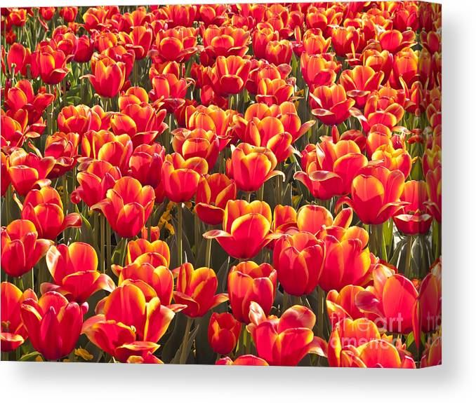 Beautiful Botanical Field Flora Flower Flowers Garden Gardening Nature Orange Plants Textures Tulip Tulips Yellow; Natural; Beautiful; Brilliant; Vivid; Light; Lit; Glow; Glowing; Bright; Bloom; Blossom; Background Canvas Print featuring the photograph Field Of Fire II by F Innes - Finesse Fine Art