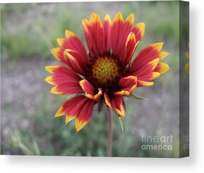 Gaillardia Photography Canvas Print featuring the photograph Gaillardia by Crissy Boss