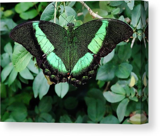 Green Canvas Print featuring the photograph Green Butterfly by Savanna Paine