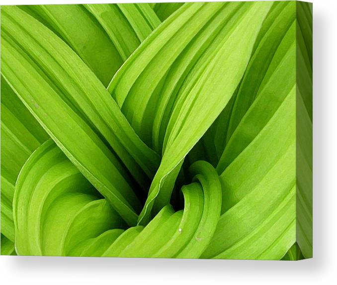 Plants Canvas Print featuring the photograph Green Folds by Karol Livote