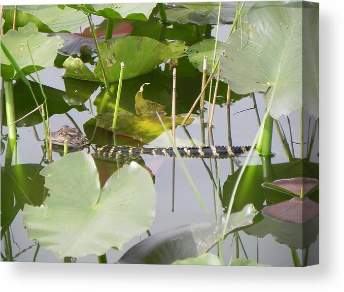 Alligator Canvas Print featuring the photograph Hidding In The Lily's by Cynthia N Couch