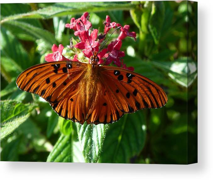 Butterfly Canvas Print featuring the photograph Julia by Krista Keck