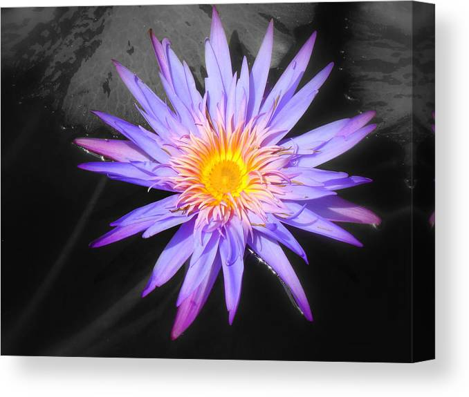Lily Canvas Print featuring the photograph Lily Pad In Bloom by Melinda Baugh