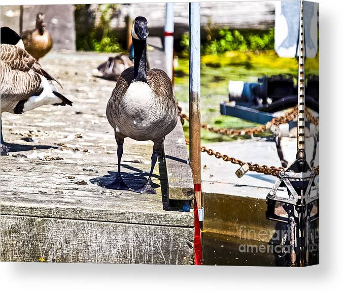 Mallard.dock Canvas Print featuring the photograph Looking At You by David Fabian
