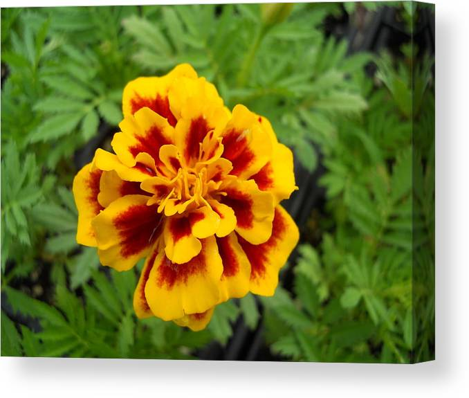 Flowers Canvas Print featuring the photograph Marigold by Coleen Harty