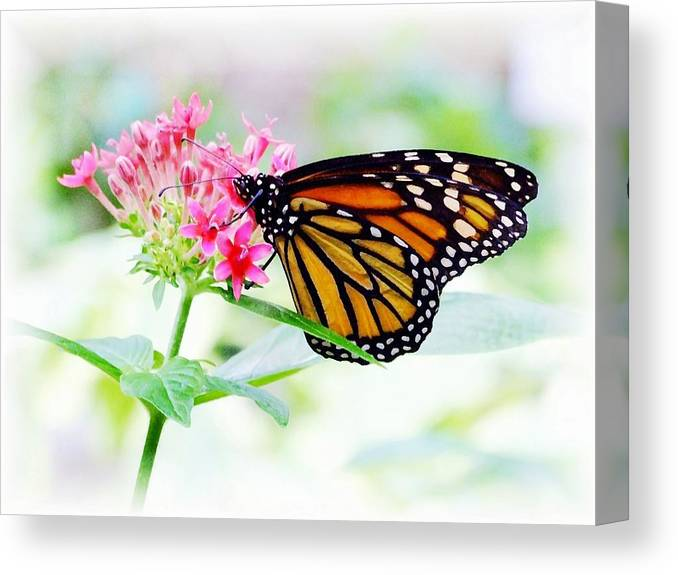 Butterfly Canvas Print featuring the photograph Monarch Beauty by Jim Darnall